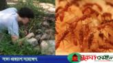 বাংলাদেশে ভয়ংকর প্রজাতির পিঁপড়ার সন্ধান