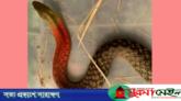 শ্রীমঙ্গলে বিষধর লালডোরা সাপ উদ্ধার