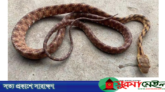 শ্রীমঙ্গলে বিরল প্রজাতির সাপ 'আই ক্যাট স্নেক' উদ্ধার
