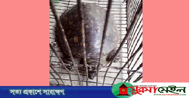 রাজনগরে ধরা পড়লো বিপন্ন প্রজাতির 'ফ্ল্যাপ শেলড' কচ্ছপ